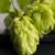 vers · groene · hop · tabel · leven · hoofd - stockfoto © joannawnuk