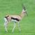 thomsons gazelle walking happily on the green grass filed stock photo © johnkasawa