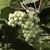 зеленый · виноград · винограда · фрукты · винограда · виноградник - Сток-фото © johnkasawa