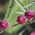 hibiscus · frutta · Australia · specie · annuale · perenne - foto d'archivio © johnkasawa