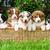 filhotes · de · cachorro · cesta · cinco · bonitinho · australiano · pastor - foto stock © Johny87