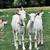 white goats stock photo © johny87