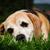 Beagle · зеленая · трава · собака · зеленый · луговой · щенков - Сток-фото © johny87