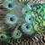 павлин · Перу · подробность · полный · кадр · аннотация · природы - Сток-фото © jonnysek