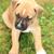 american pit bull terrier stock photo © jonnysek