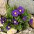 azul · vermelho · flores · primavera · natureza - foto stock © jonnysek