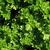 kişniş · çiçek · doğa · yaprak · yeşil · bitki - stok fotoğraf © jonnysek