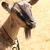 молодые · Cute · коза · портрет · из · Focus - Сток-фото © jonnysek