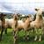 sheeps in the green grass stock photo © jonnysek