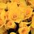 belo · amarelo · primavera · jardim · ensolarado - foto stock © jonnysek
