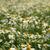 agradable · blanco · manzanilla · campo · cielo · azul · primavera - foto stock © jonnysek