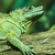 green lizard dragon stock photo © jonnysek