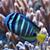 hal · citromsárga · trópusi · Vörös-tenger · természet · tenger - stock fotó © jonnysek