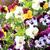 pansy flowers background stock photo © jonnysek