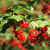 vermelho · groselha · comida · quadro · verão · verde - foto stock © jonnysek