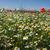 branco · camomila · campo · gotas · de · água · macro · primavera - foto stock © jonnysek
