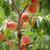 szőlőszüret · őszibarackok · érett · fa · nyár - stock fotó © jonnysek