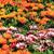 laranja · perene · flor · sol · estrela - foto stock © jonnysek