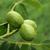 walnuts stock photo © jonnysek