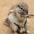 exotic sand squirrel stock photo © jonnysek