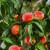 Peaches on a tree between green leaves stock photo © joruba