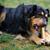 köpek · yeme · kemik · çoban · bahçe · çim - stok fotoğraf © joruba