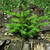 little pine tree on a decayed stump stock photo © joseph73
