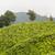 çay · dağlık · Malezya · gündoğumu · sis - stok fotoğraf © juhku