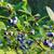 áfonya · otthon · kert · udvar · levél · gyümölcs - stock fotó © juhku