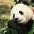 óriás · panda · éhes · medve · eszik · bambusz - stock fotó © juhku