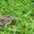 緑 · ブラウン · カエル · 白 · 春 - ストックフォト © juhku