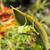 グラスホッパー · 緑 · 白 · バグ · マクロ · 飛行 - ストックフォト © juhku
