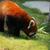 red panda on grass stock photo © juhku