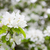 bahar · elma · ağacı · mavi · çiçek · çiçekler - stok fotoğraf © juhku
