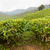 thee · Indië · bewolkt · dag · landschap · blad - stockfoto © juhku