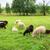 herd of sheeps in the meadow stock photo © juhku