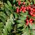 rowan berries ripening on tree stock photo © juhku