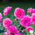 розовый · роз · роса · капли · Розовые · розы - Сток-фото © juhku