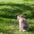 meraklı · kurtlar · alan · gri · kurt · hayvan - stok fotoğraf © juhku