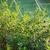 blueberries ripening on the bush stock photo © juhku