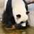 panda · agua · gigante · rock · negro · parque - foto stock © juhku