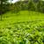 chá · Índia · nublado · dia · folha · árvores - foto stock © juhku