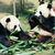 two pandas eating bamboo stock photo © juhku
