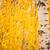 huş · ağacı · sonbahar · akşam · ışık · doku - stok fotoğraf © juhku