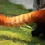 red panda fluffy tail stock photo © juhku
