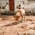 faminto · cachorro · buldogue · em · pé · dentro - foto stock © juhku