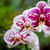 natural purple orchid flowers stock photo © juhku