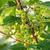 vermelho · groselha · arbusto · verão · jardim · ramo - foto stock © juhku
