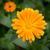 een · oranje · bloem · geïsoleerd · witte - stockfoto © juhku