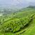 chá · folha · verde · montanhas · asiático · indiano - foto stock © juhku